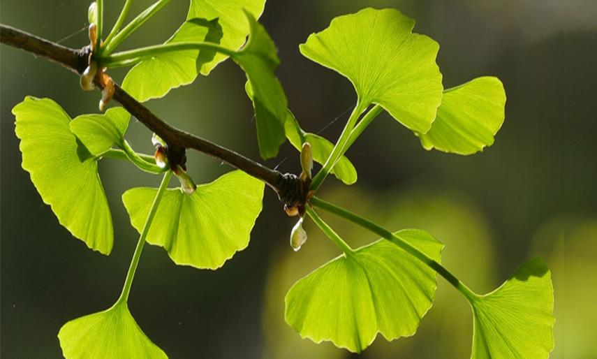 Miłorząb (Gingko L.) - nie tylko na dobrą pamięć